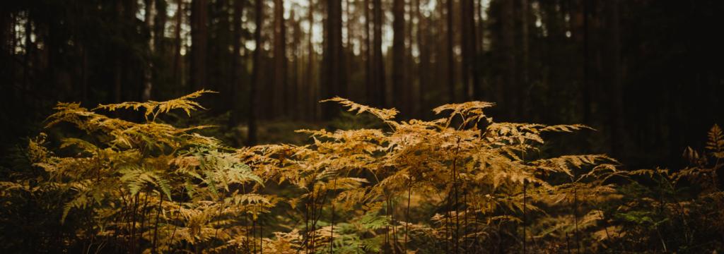 forest_hafsrød